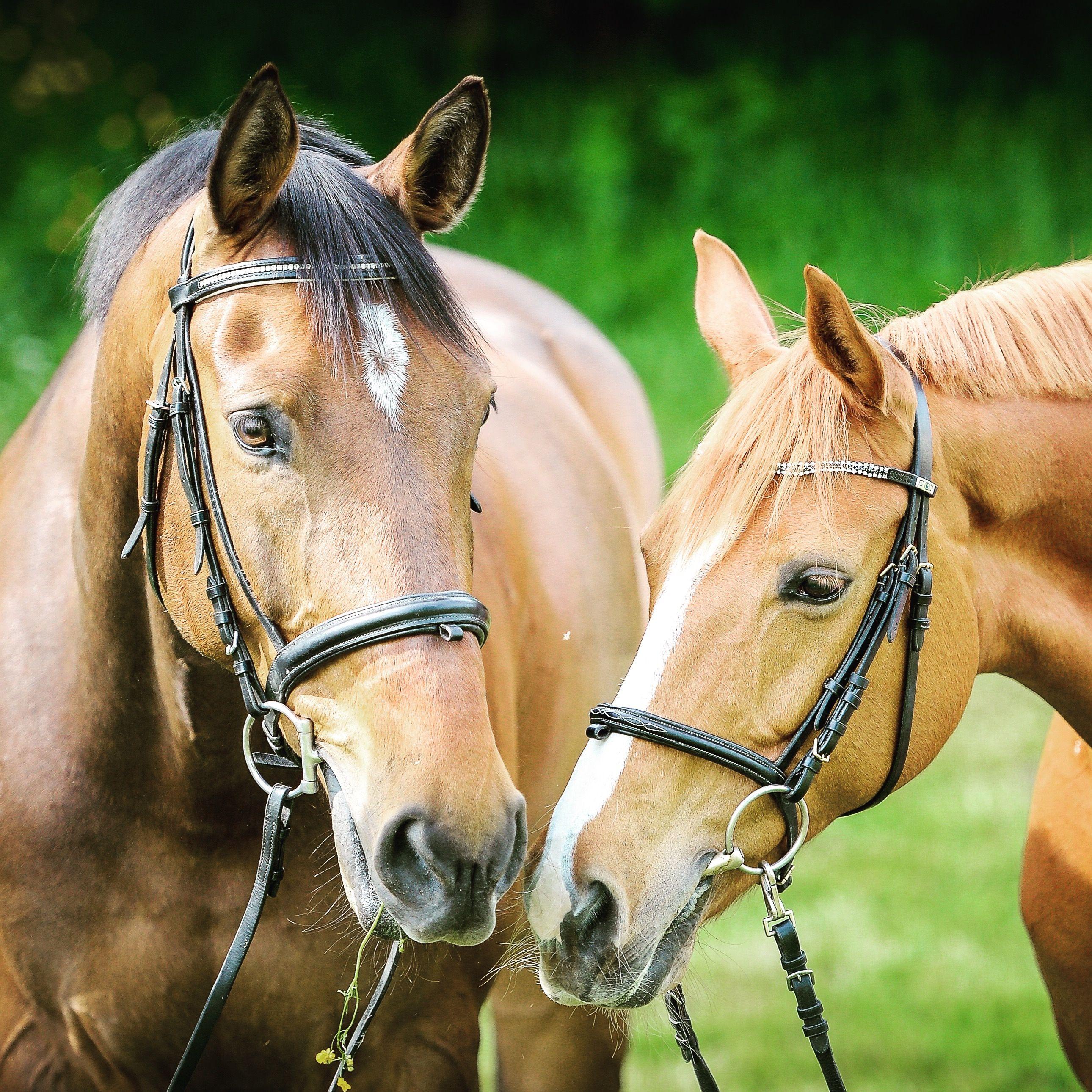 Zwei Pferde mit hohen Gräsern im Hintergrund